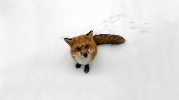 fox, snow