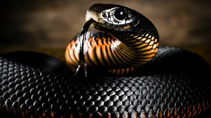 skin, nature, tongues, reptile, depth of field, animals, snake