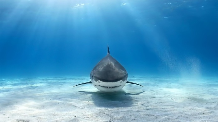 animals, shark, underwater, Great White Shark