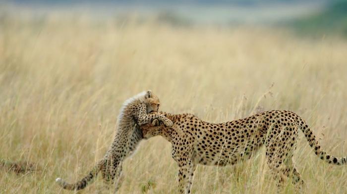 cheetahs, cubs, animals, baby animals