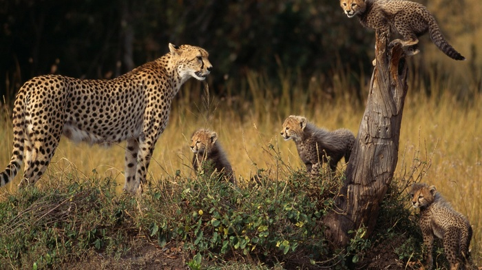 baby animals, cubs, cheetahs, animals