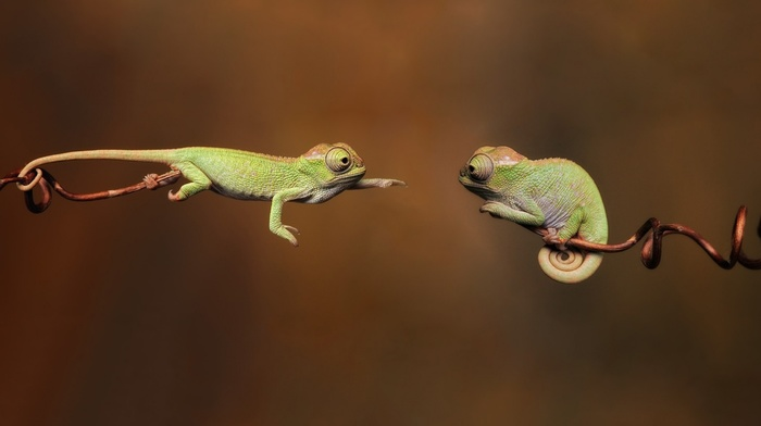 chameleons, animals, branch, reptile