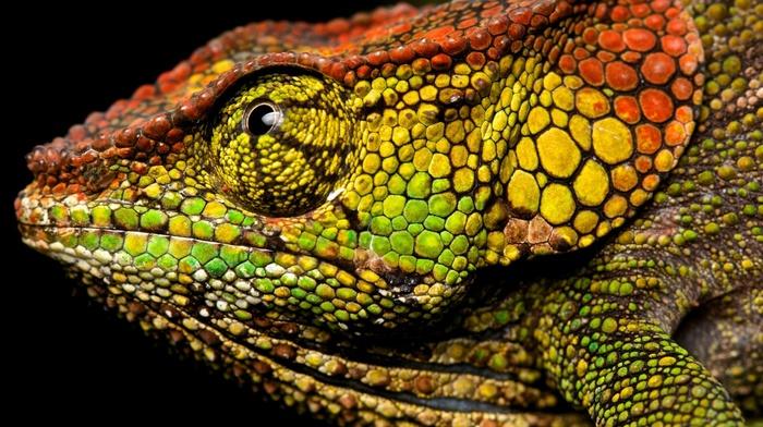 macro, chameleons