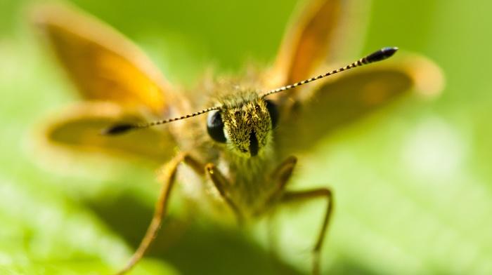 lepidoptera, macro