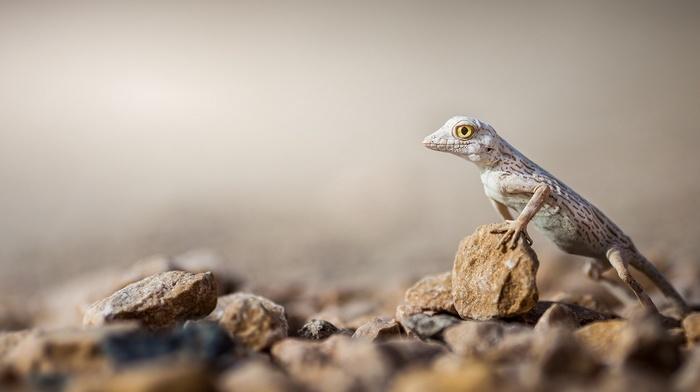 lizards, macro, animals