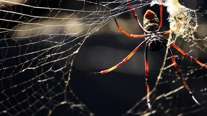 spider, macro, animals