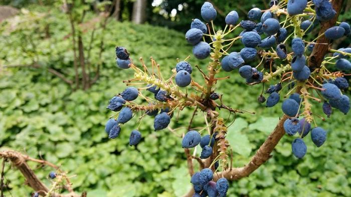 nature, berries