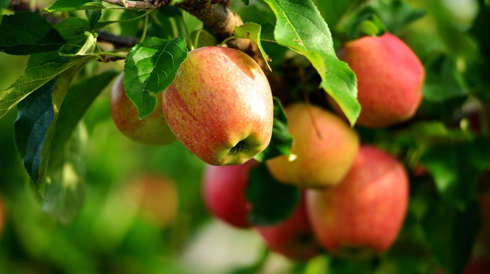 apples, plants, macro