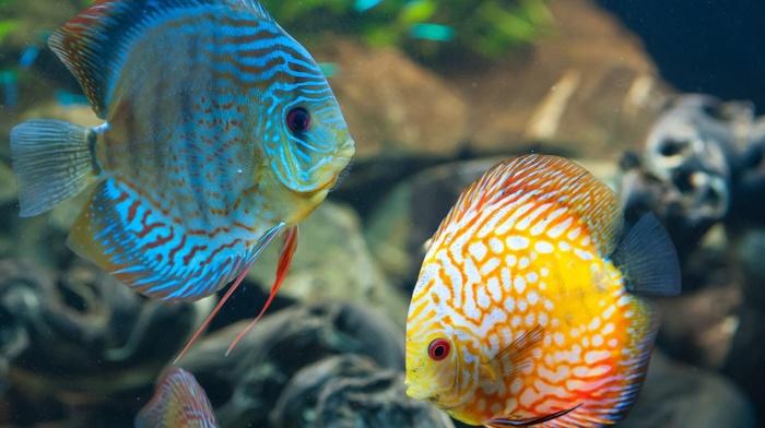 Discus Fish, animals, fish