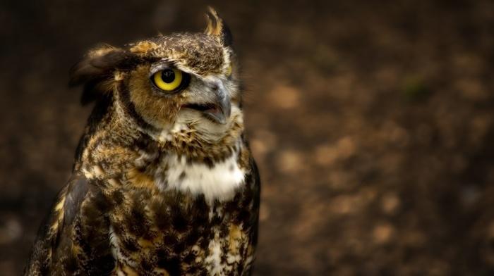 birds, owl, animals
