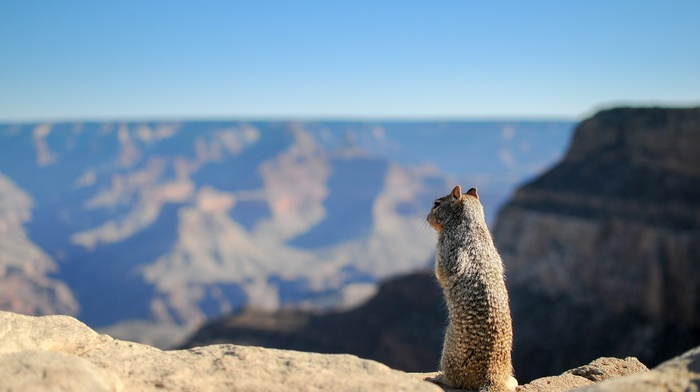 squirrel, Grand Canyon, animals, depth of field