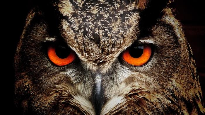 owl, photography, birds, animals