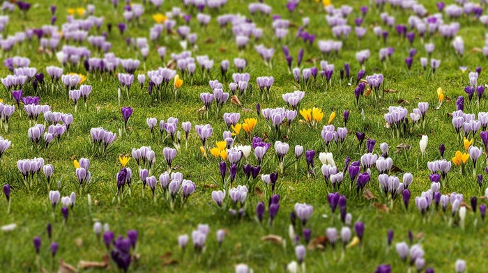 crocus, plants, flowers, spring, field