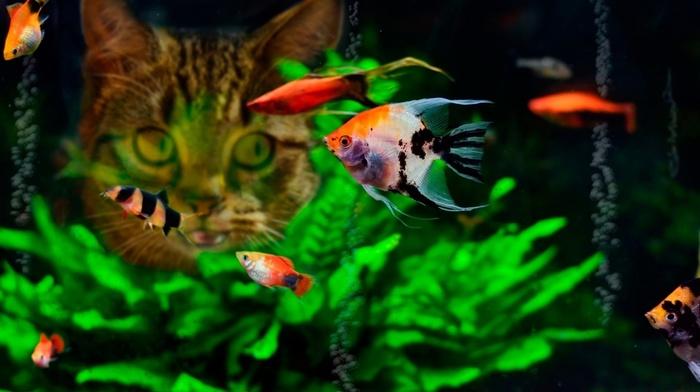 water, fish, cat, tropical fish