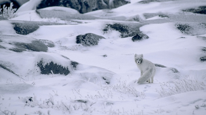 camouflage, stones, snow, plants, frost, landscape, arctic fox, winter, animals, Canada, nature