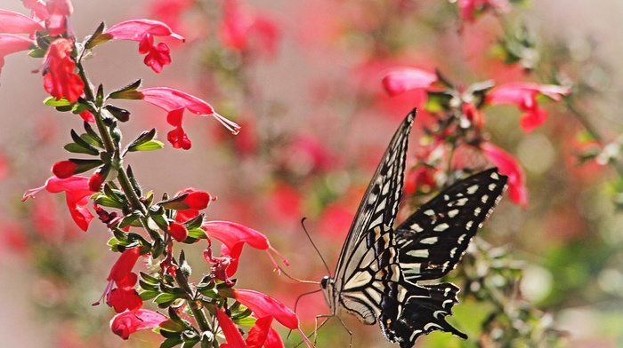 macro, lepidoptera, insect, animals, flowers