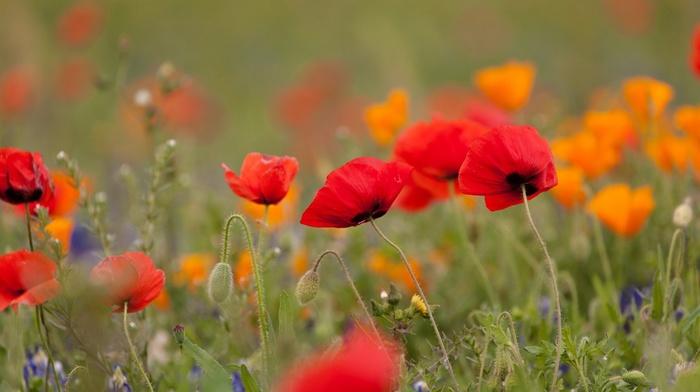 flowers, poppies