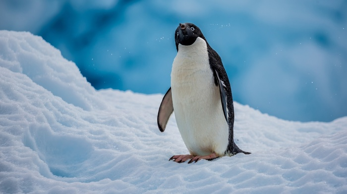snow, animals, ice, nature, birds, penguins