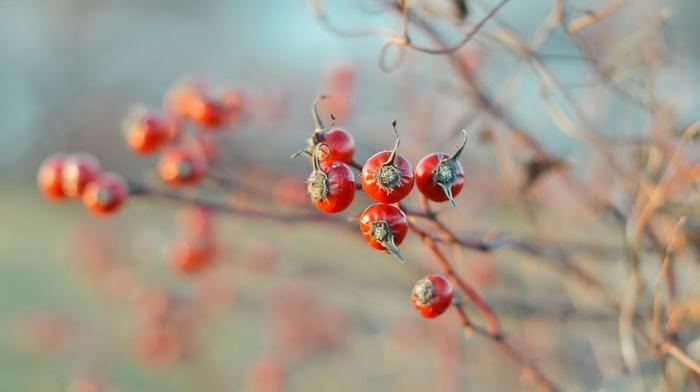 plants, berries, macro