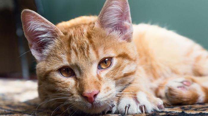 animals, cat, carpets