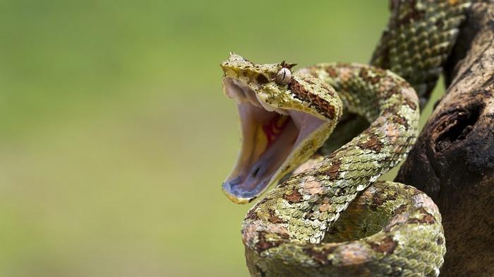 cobra, skin, depth of field, nature, animals, snake, wood