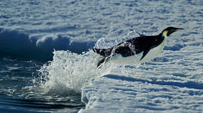 sea, winter, Antarctica, penguins, snow, jumping, animals, depth of field, nature, splashes, water