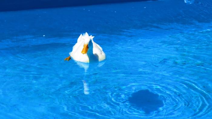 duck, swimming, swimming pool