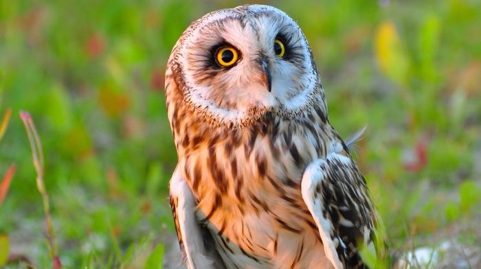 animals, birds, owl, multiple display