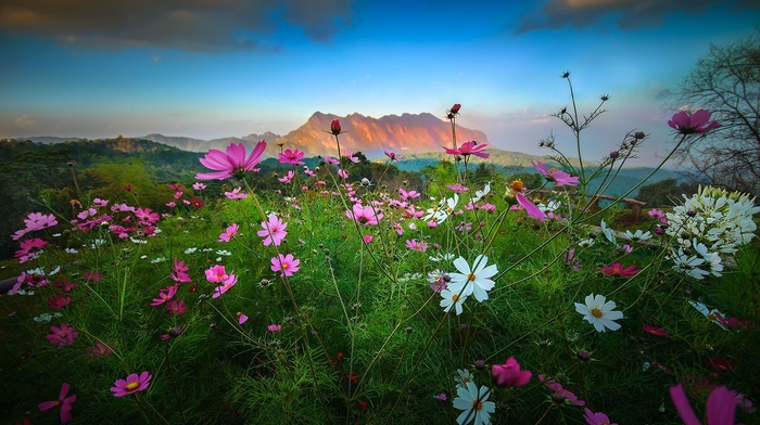 Cosmos flower, mountains, landscape, spring, nature, flowers, clouds, shrubs, sunset, Thailand