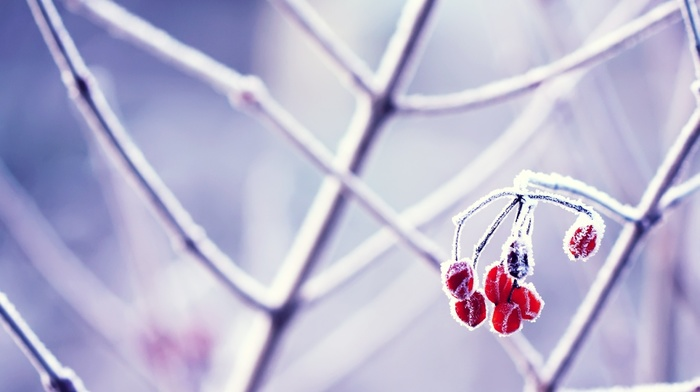plants, macro, frost, nature, photography, twigs, berries