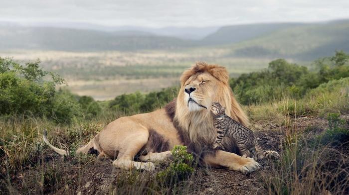 cat, lion