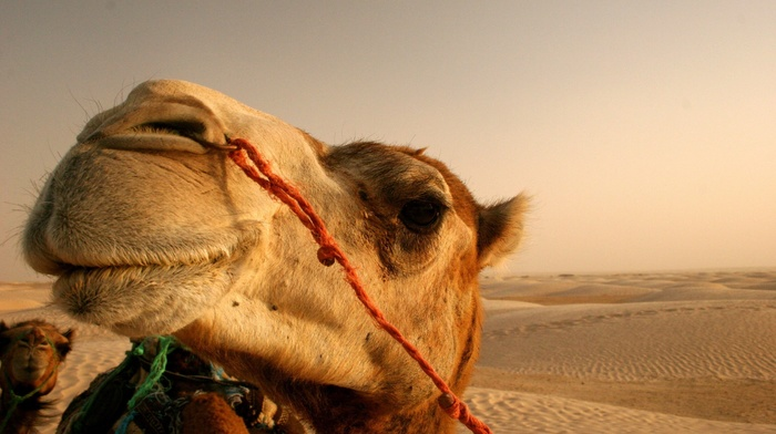 camels, animals, desert
