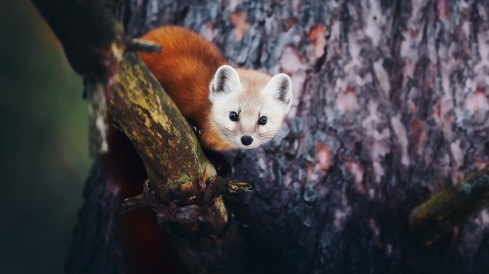 animals, fox, red panda, trees, nature, depth of field