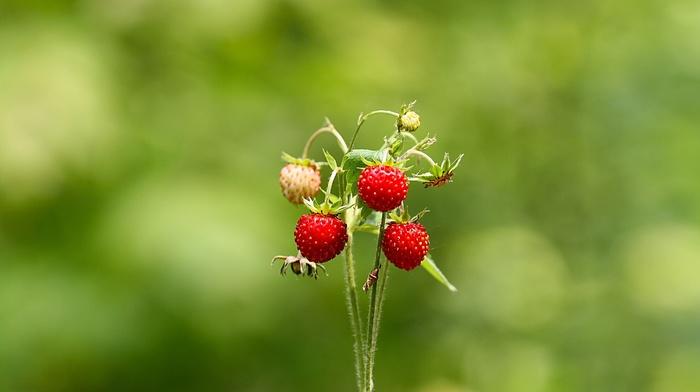 nature, bokeh, strawberries, depth of field