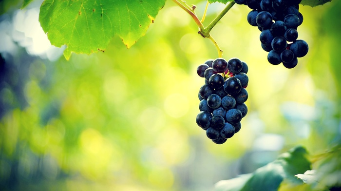 leaves, plants, vines, nature, vine leaves, macro, photography, grapes