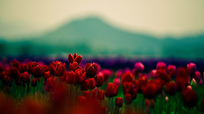 nature, tulips, flowers
