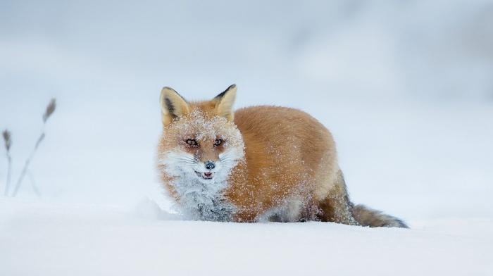 animals, snow, fox