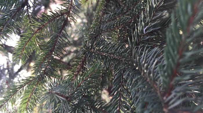 branch, fir, tree