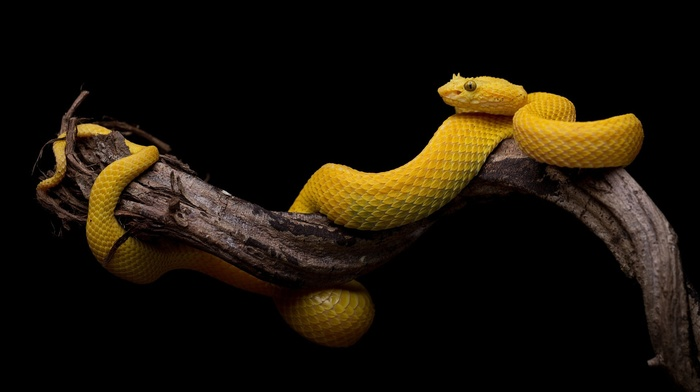 branch, yellow, snake, simple, black background, animals, reptiles