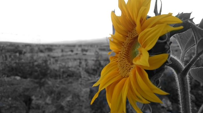 Sun, yellow, sunflowers, flowers, black, selective coloring