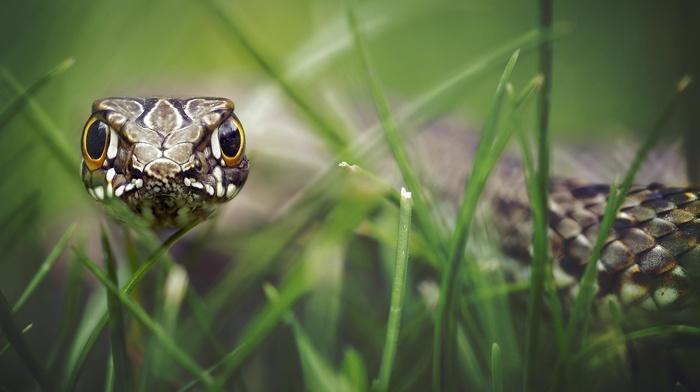 reptiles, macro, grass, depth of field, snake, animals