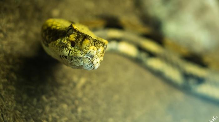 macro, reptiles, snake, animals, depth of field