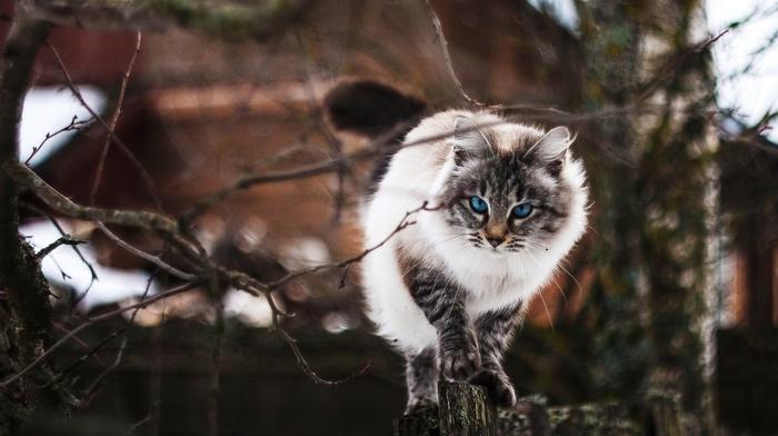 animals, depth of field, fence, blue eyes, twigs, cat