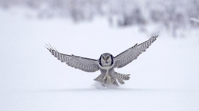 owl, wings, snow, birds