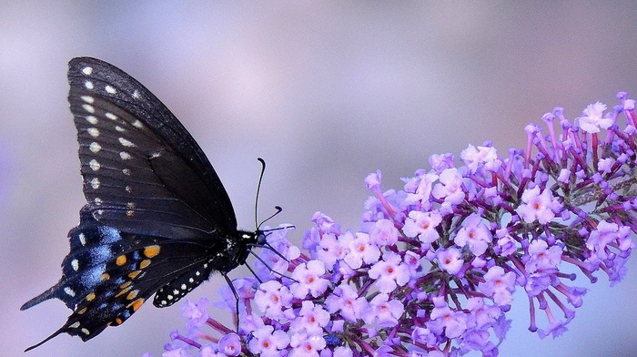macro, butterfly, insect, animals, flowers, purple flowers