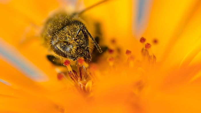 yellow flowers, bees, insect, macro, pollen, flowers