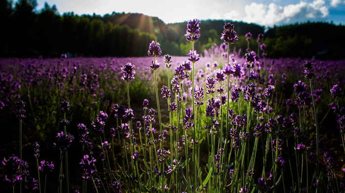 plants, flowers, purple flowers, nature, lavender, sunlight, field