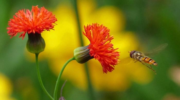 flowers, macro, insect, orange flowers, plants, bees