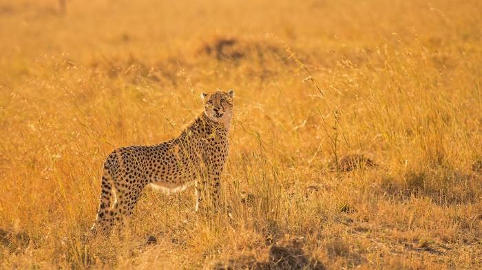 animals, savannah, cheetah