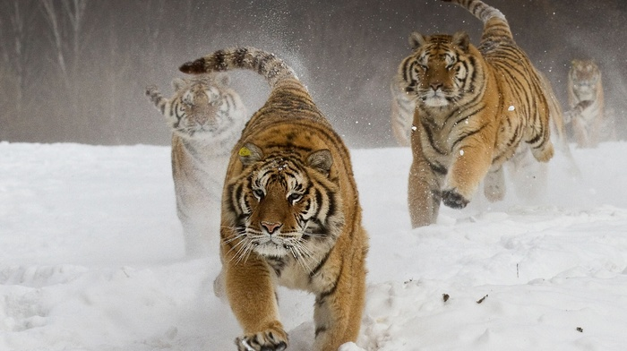 snow, running, landscape, Siberian tiger, animals, nature, winter, big cats
